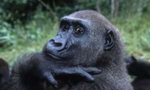 """Western Lowland Gorilla (Gorilla gorilla gorilla), portrait. Orphaned gorillas reintroduced into the wild. Projet: """"Protection des Gorilles"""", Gabon and Congo Distribution: Tropical Rainforest, Western Central Africa (Nigeria to DRC)"""